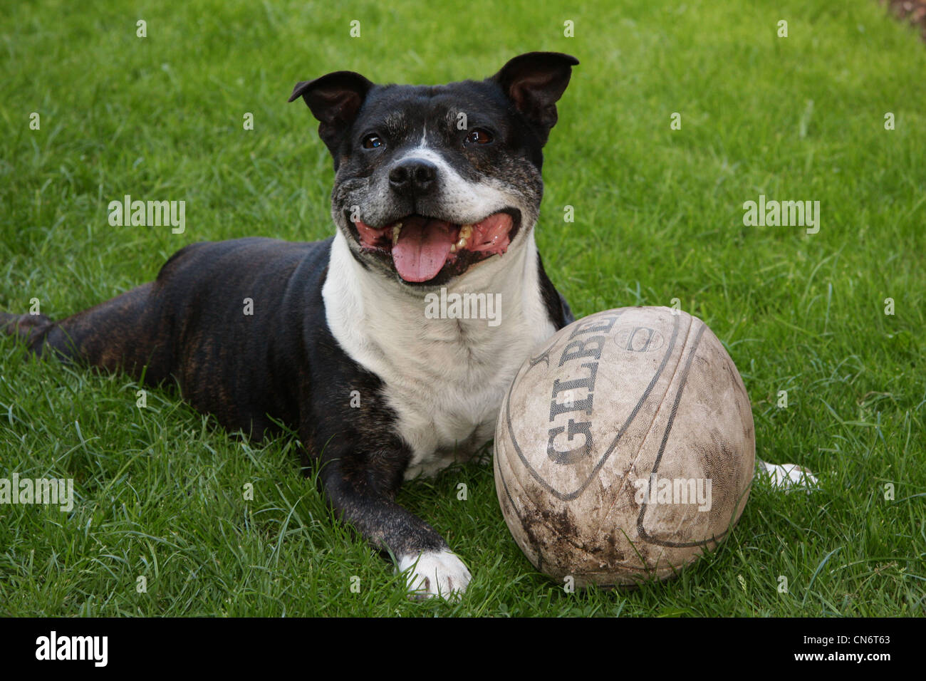Staffordshire bull terrier at play with football - Stock Image