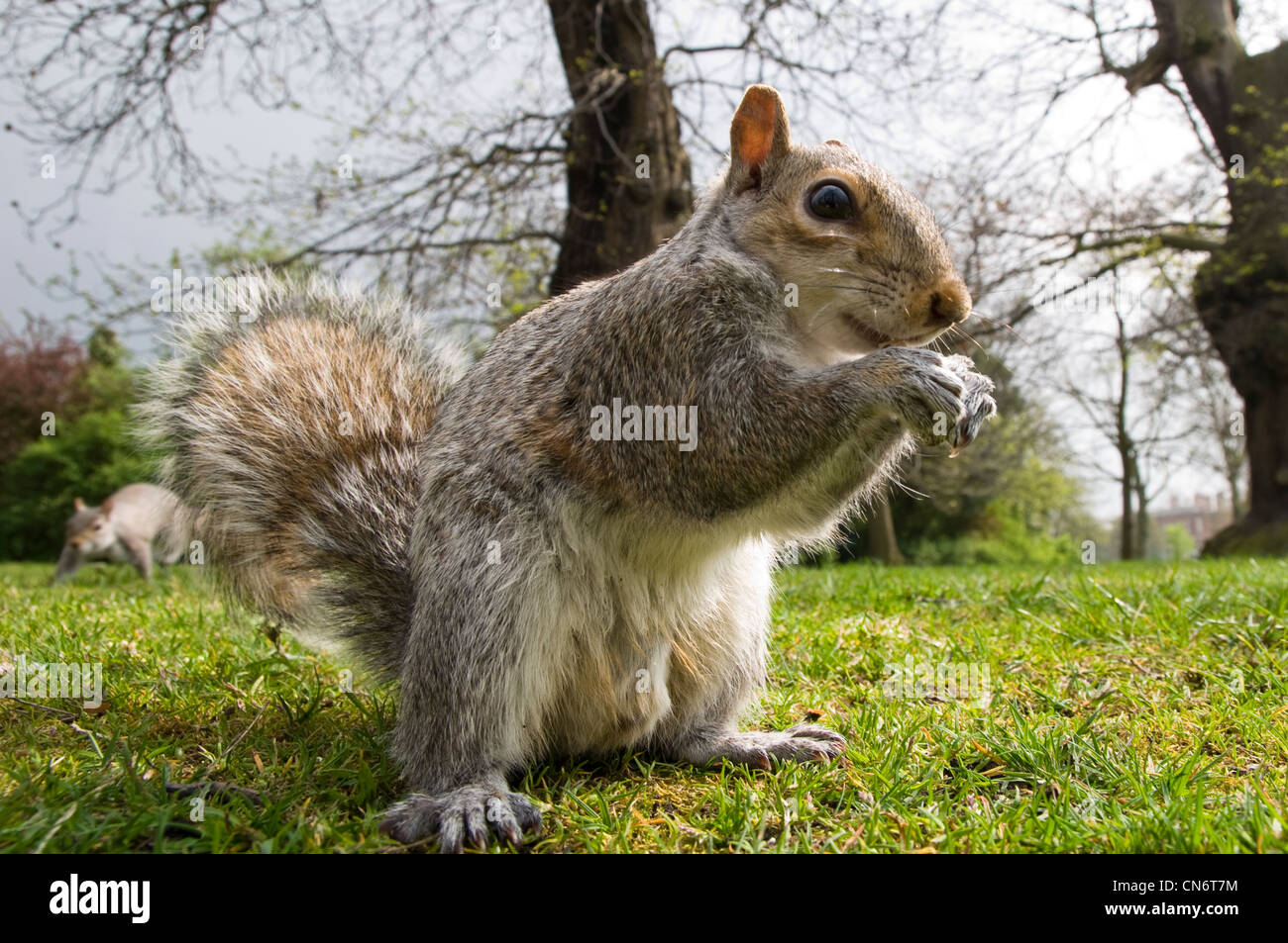 A grey squirrel on the ground and eating a nut while a second squirrel approaches in the background. April. - Stock Image