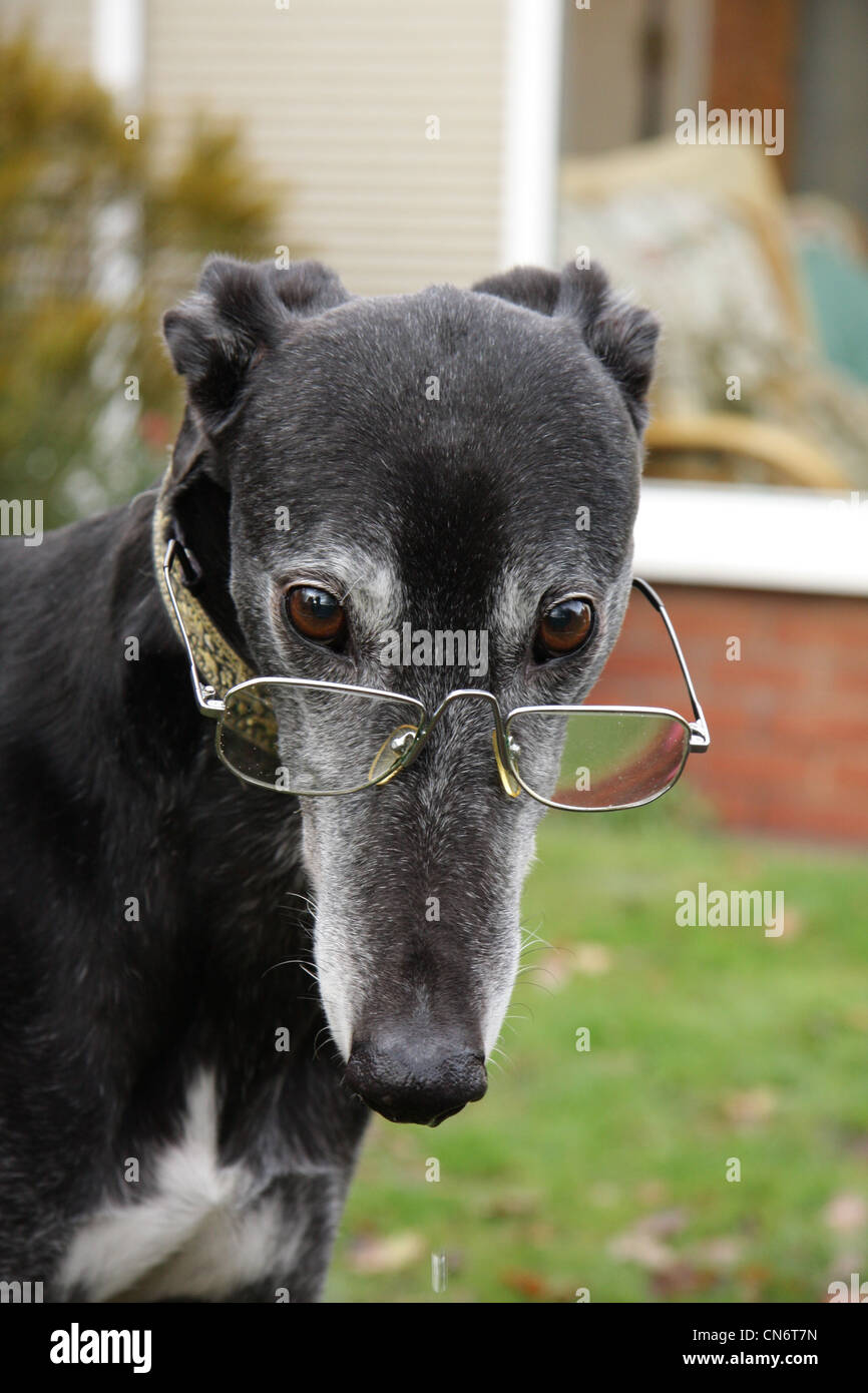 black greyhound wearing glasses stock photo 47479257 alamy dog vector free dog vector art