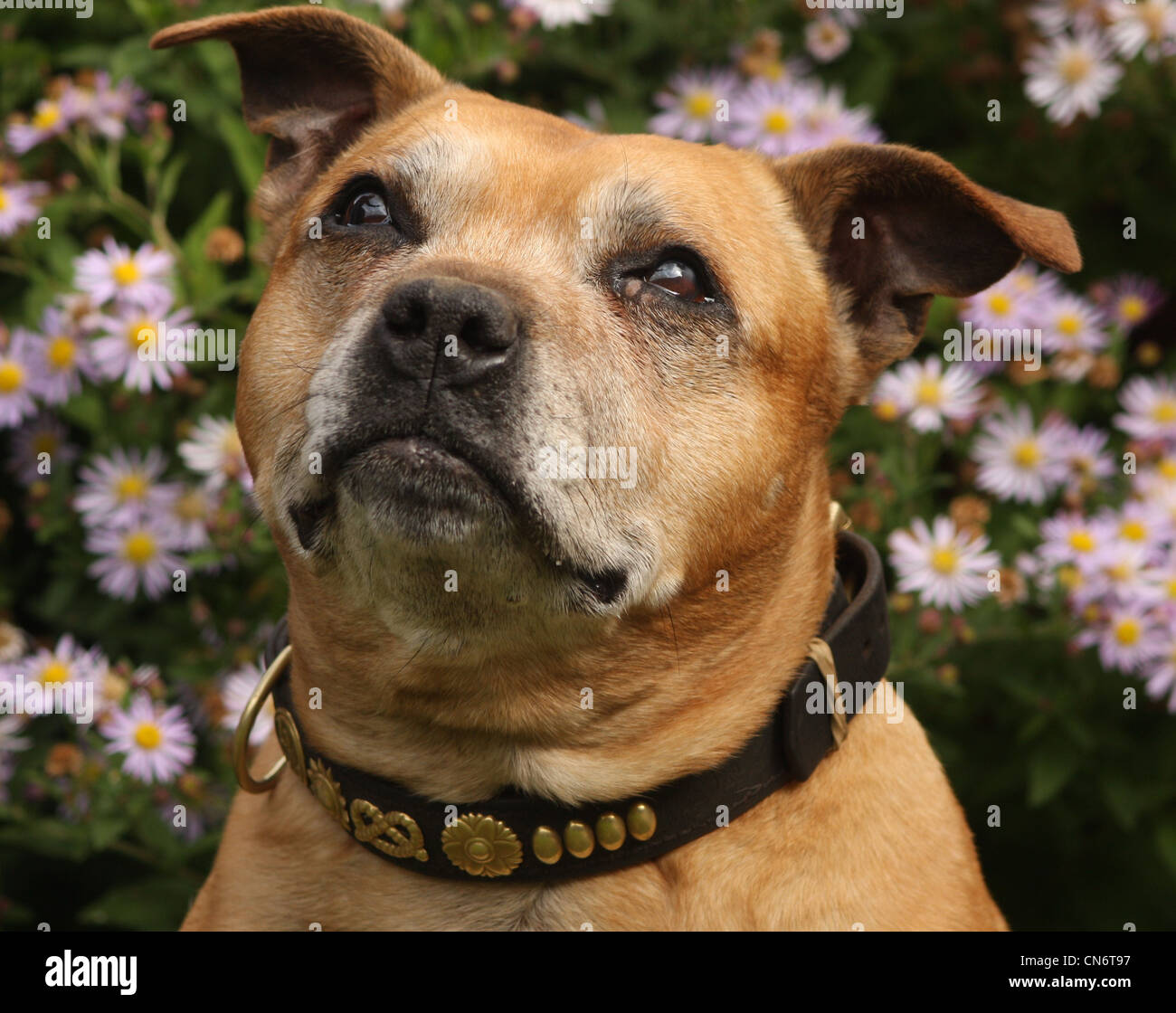 Old Staffordshire bull terrier portrait shot with flowers in background - Stock Image