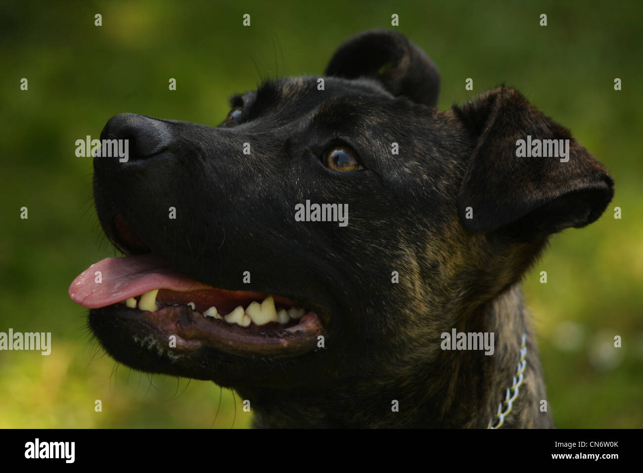 Staffordshire bull terrier brindle - Stock Image