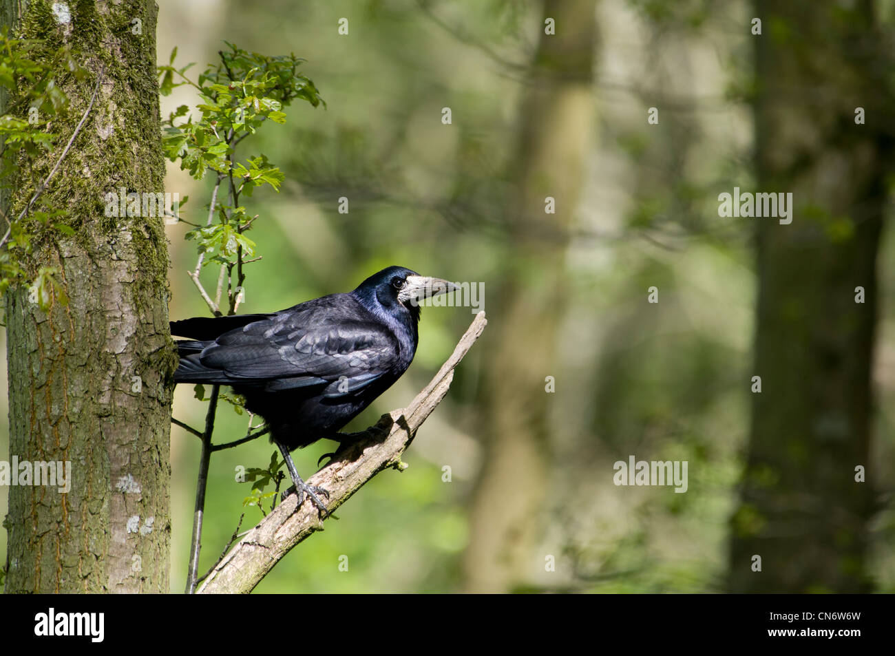 A rook (Corvus frugilegus) perched in a tree in woodland at Morpeth, Northumberland. May. - Stock Image