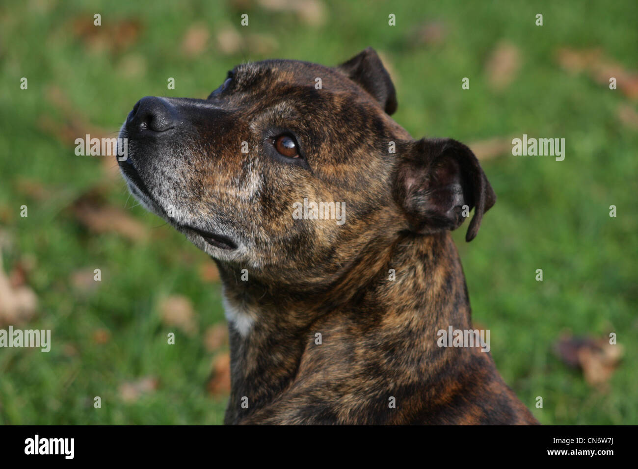 Brindle staffordshire bull terrier - Stock Image