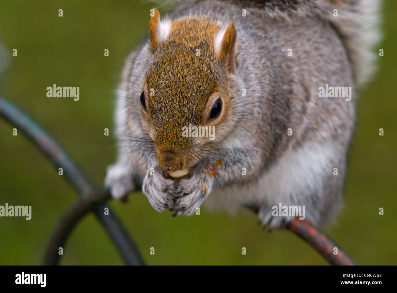 The eastern gray squirrel - Stock Image