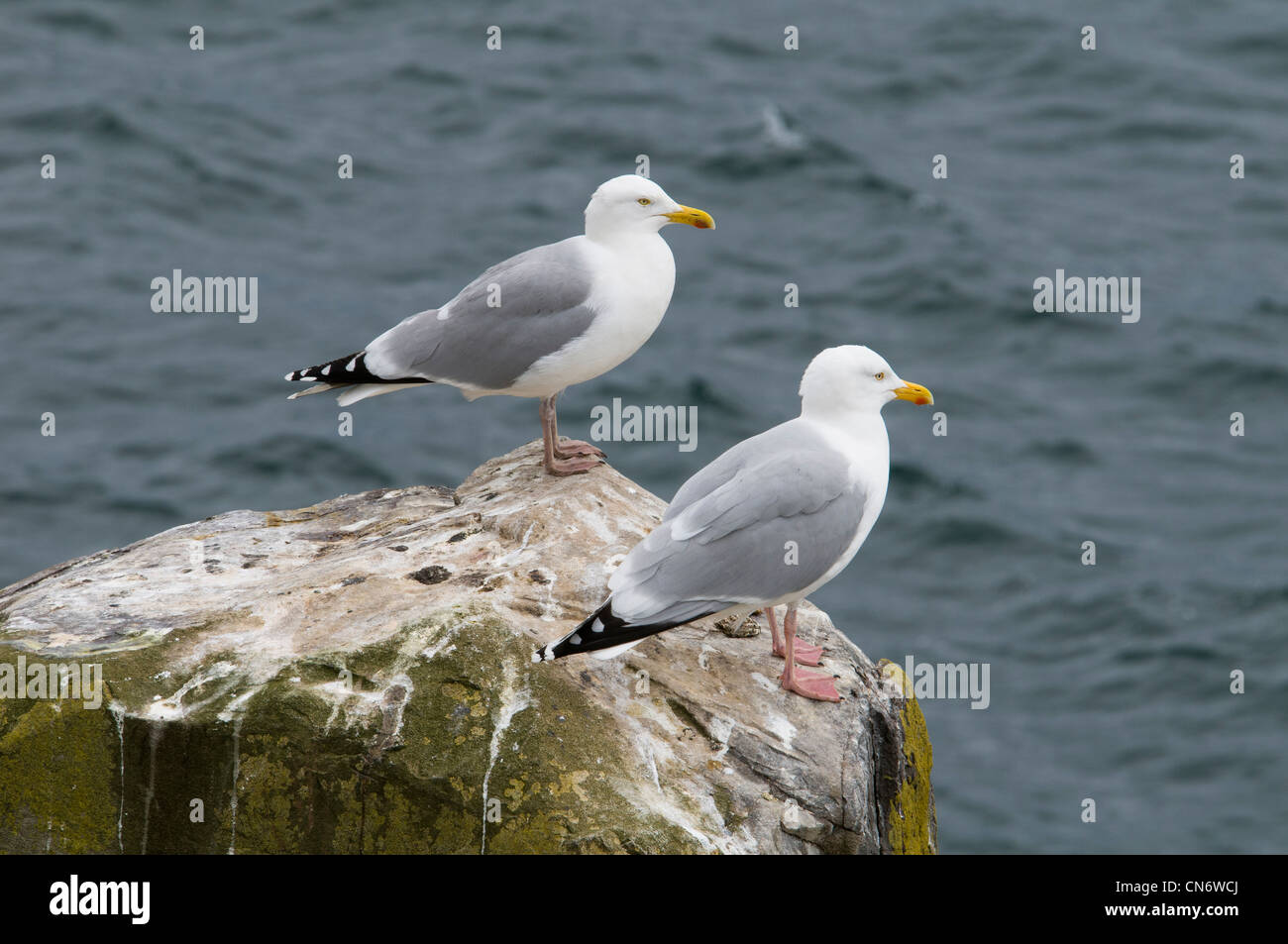 A pair of herring gulls (Larus argentatus) standing on a rocky outcrop on Inner Farne, Northumberland. May. - Stock Image