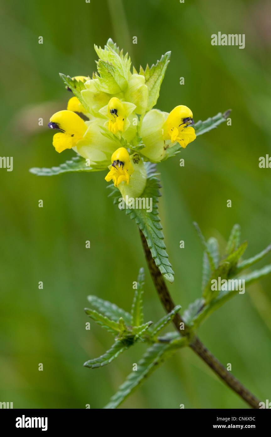 Yellow rattle rhinanthus minor flowering at rspb strumpshaw fen yellow rattle rhinanthus minor flowering at rspb strumpshaw fen norfolk june mightylinksfo