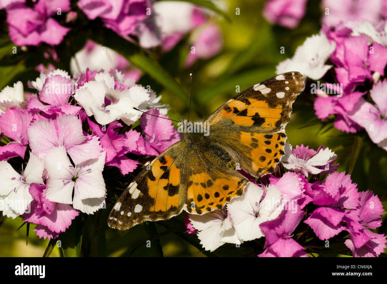A painted lady butterfly (Cynthia cardui) nectaring on garden flowers at Strumpshaw Fen, Norfolk. June. Stock Photo
