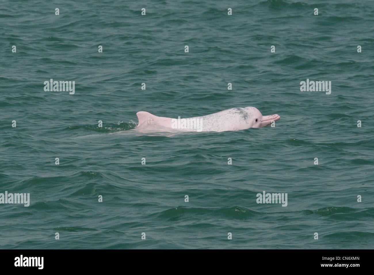 Indo-Pacific Humpback Dolphin (Sousa chinensis), surfacing. Hong Kong, Pearl River Delta. - Stock Image
