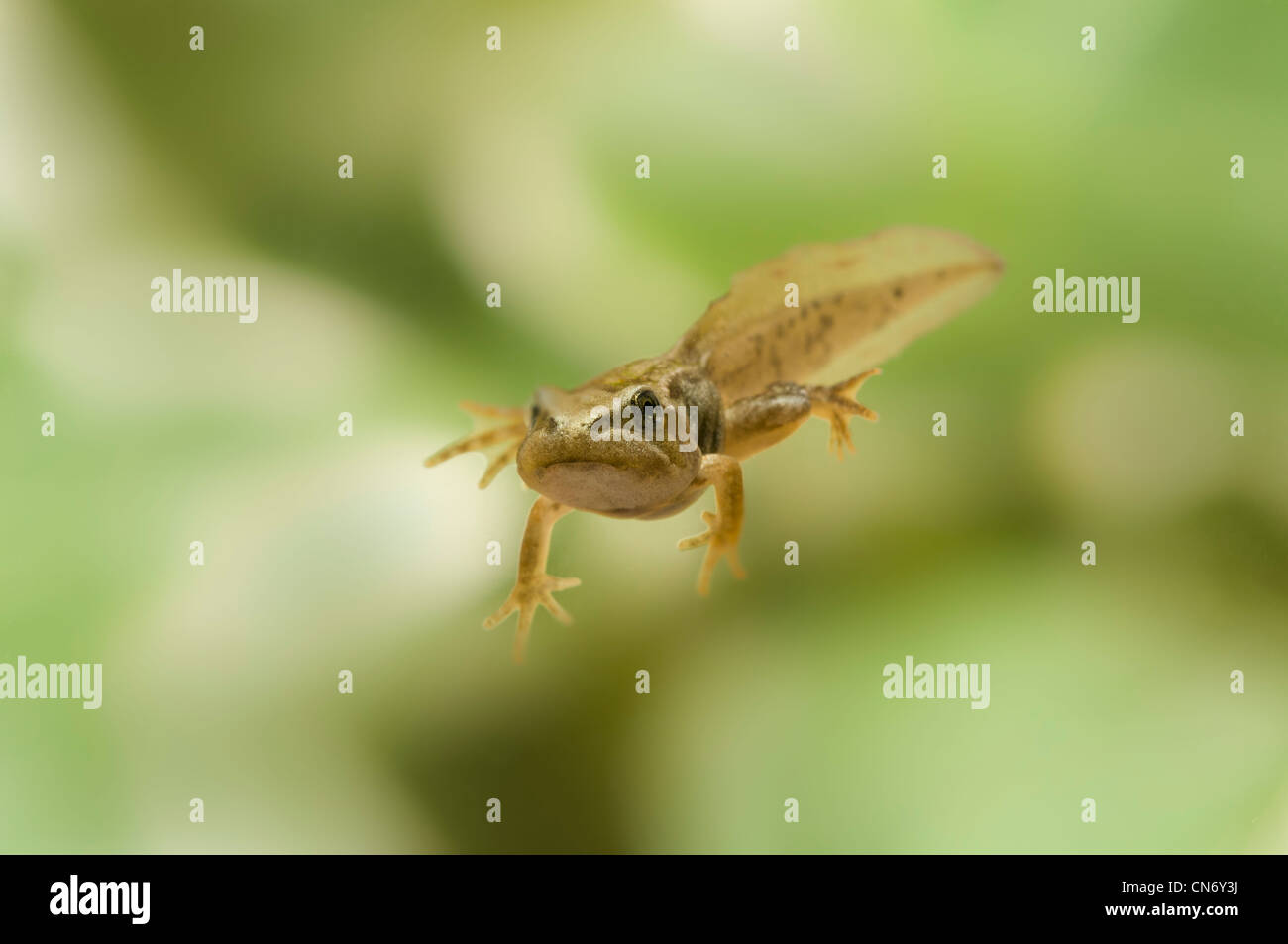 common frog tadpole with legs, photographed in a tank and released afterwards. - Stock Image