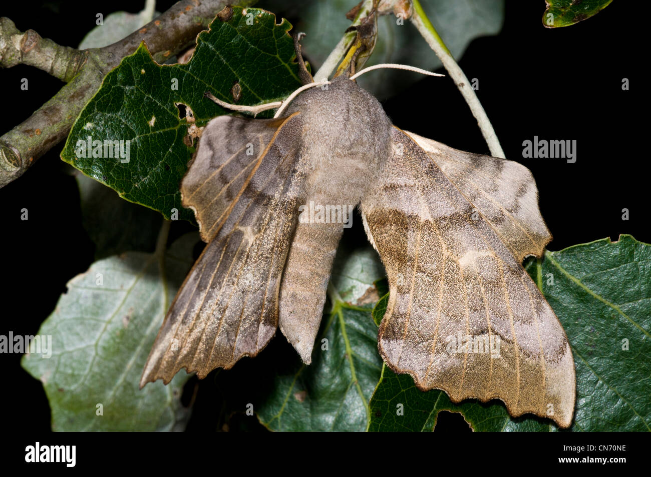 A buff form of the poplar hawk-moth (Laothoe populi) perched on Ivy at Crossness Southern Marshes, Bexley, Kent. - Stock Image