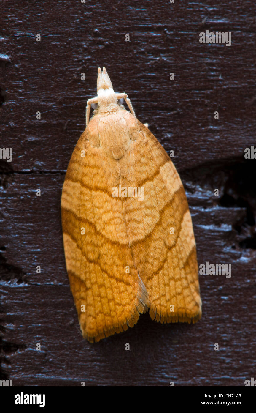 A chequered fruit-tree tortrix moth (Pandemis corylana) on a fence in a garden in Belvedere, Kent. August. - Stock Image