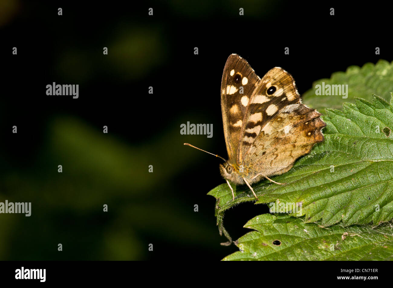 A speckled wood butterfly (Pararge aegeria) perched on a nettle at Sevenoaks Wildlife Reserve, Kent. August. - Stock Image