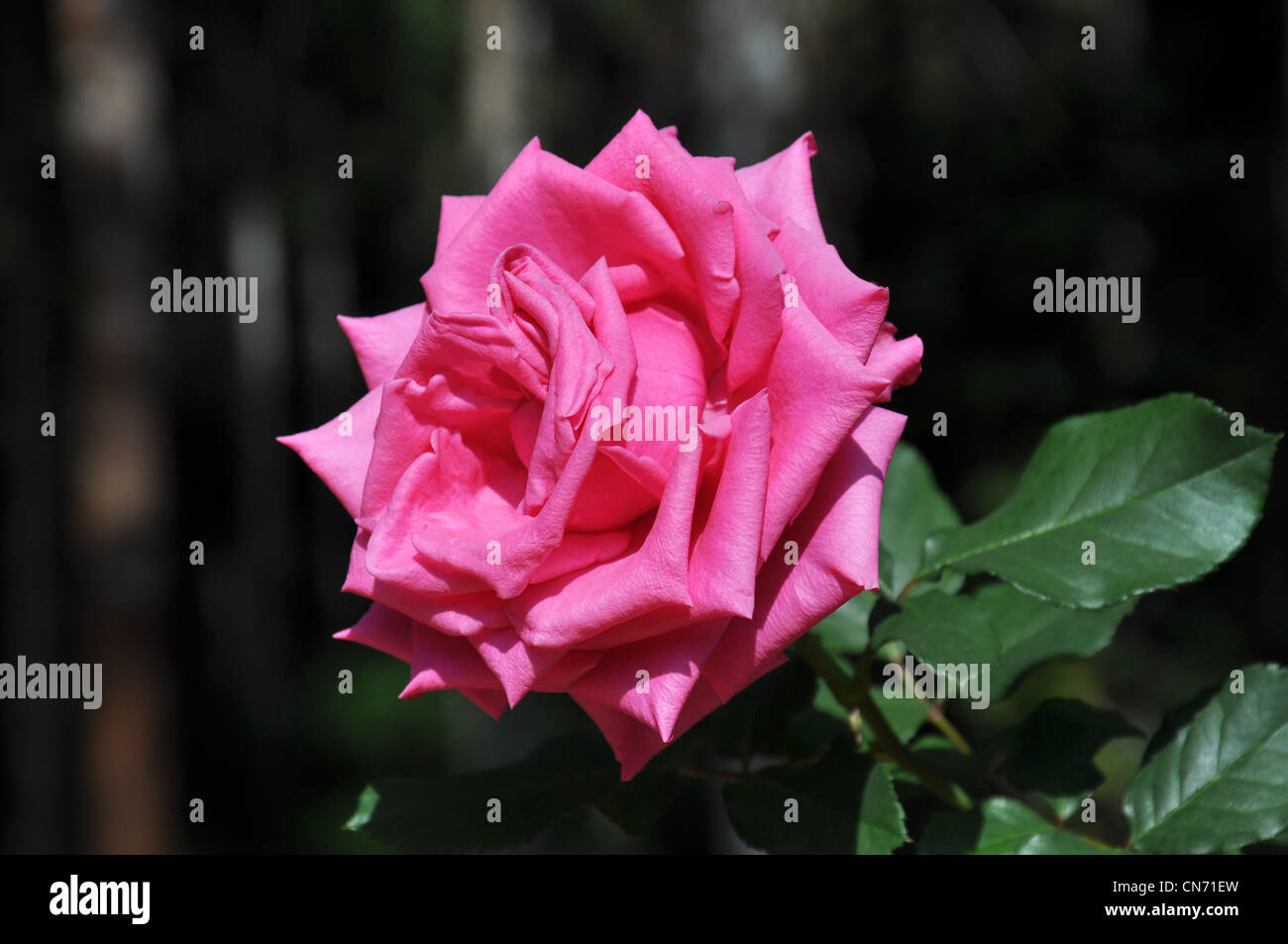 A close up of a pink rose on the plant - Stock Image