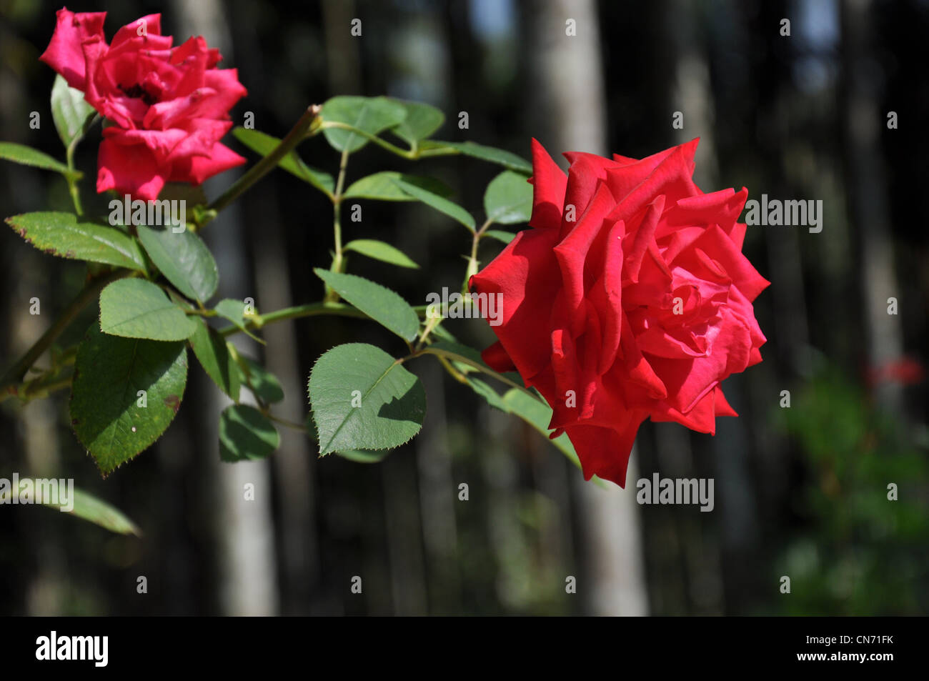 A close up of a Red Rose with stem - Stock Image