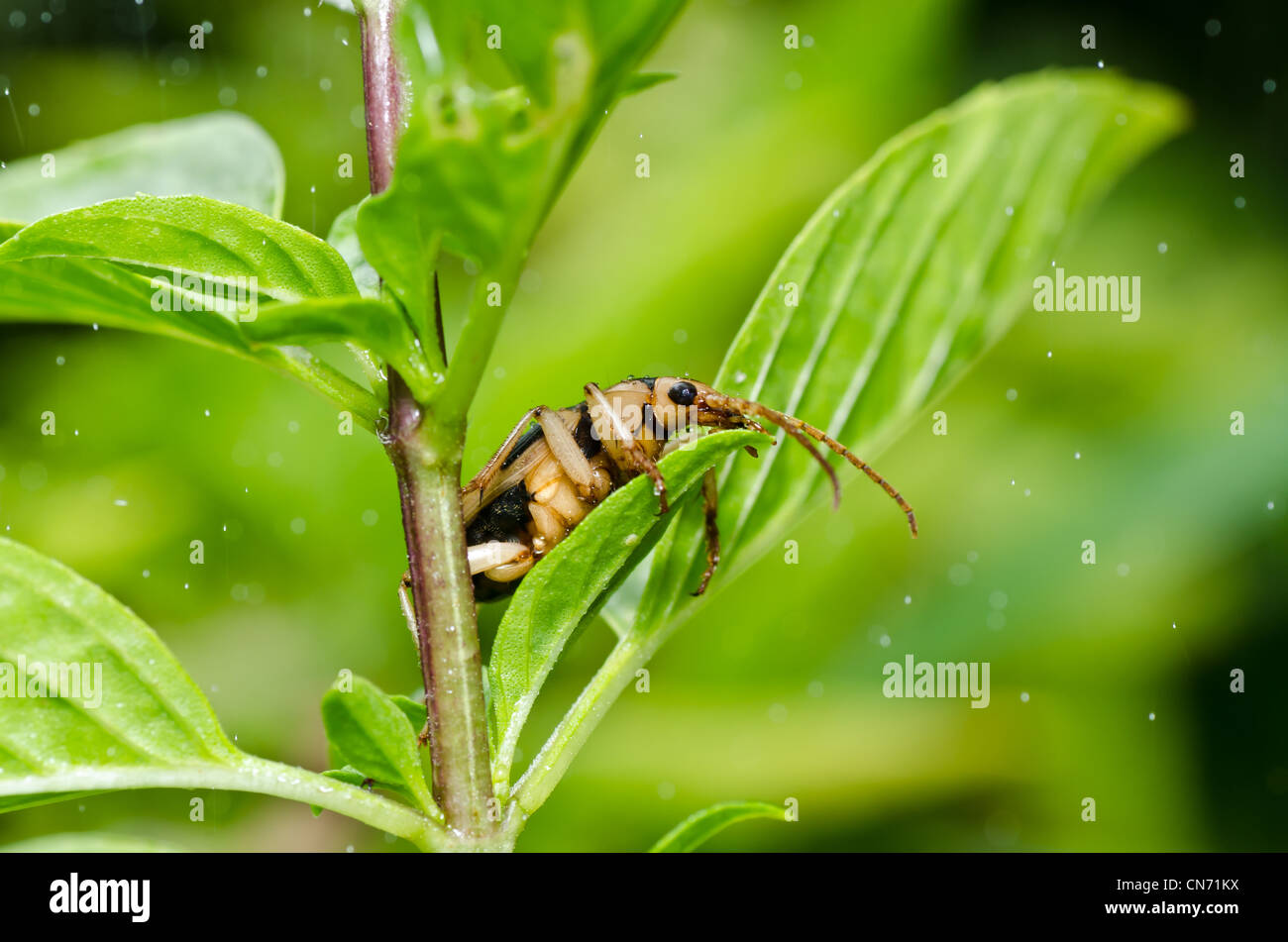 brown bug in green nature or in the garden - Stock Image