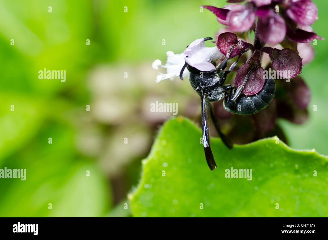 black wasp in green nature or in garden. It's danger. - Stock Image
