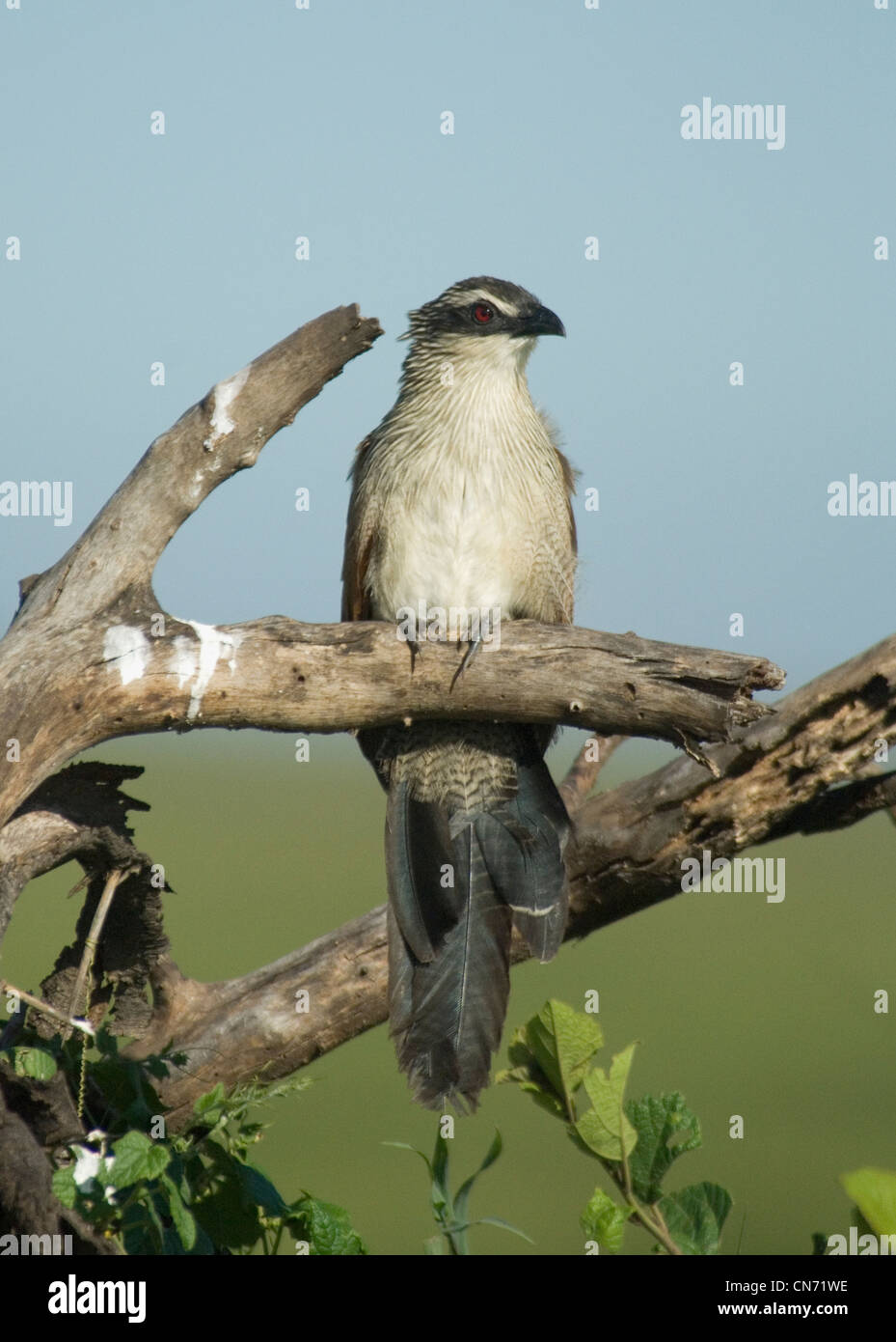 White-browed coucal - Stock Image