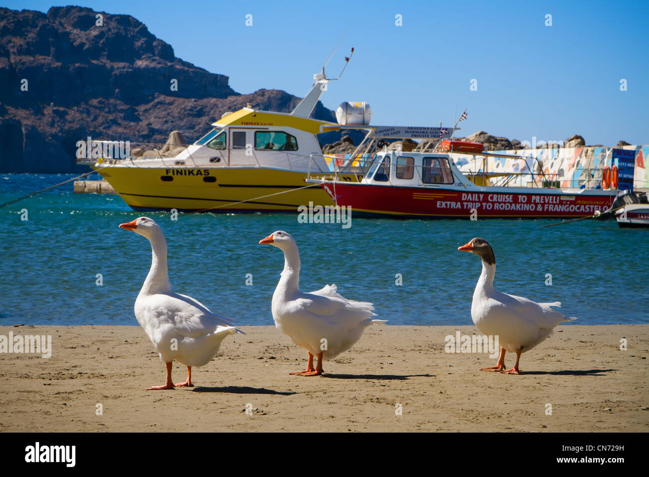 Three geese waiting for a daily cruise. Mediterranean, Plakias, Crete, Greece. Stock Photo