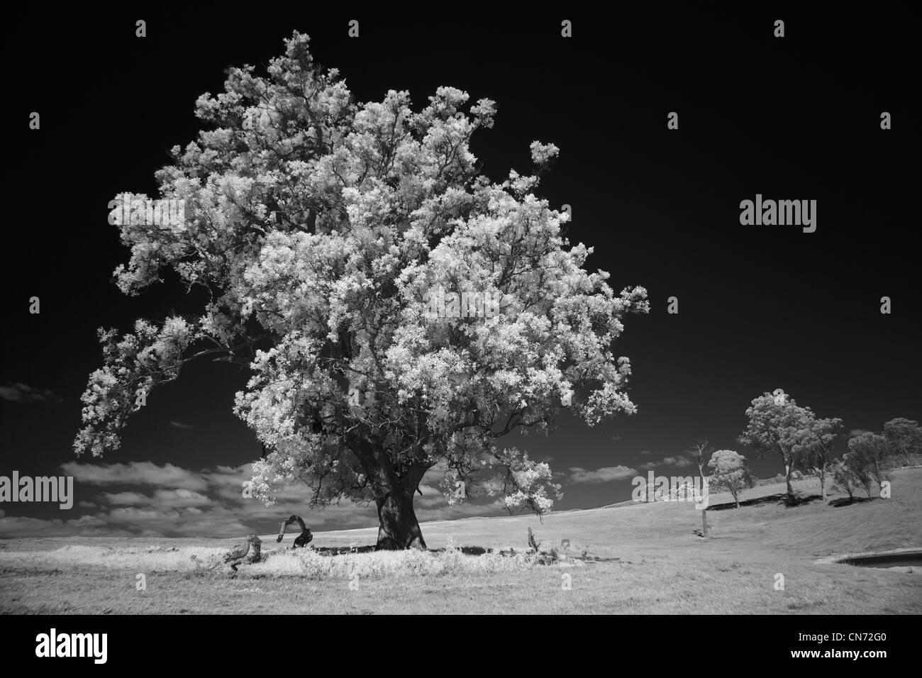 Glorious Eucalyptus tree on farm, Bega Valley NSW Australia - Stock Image