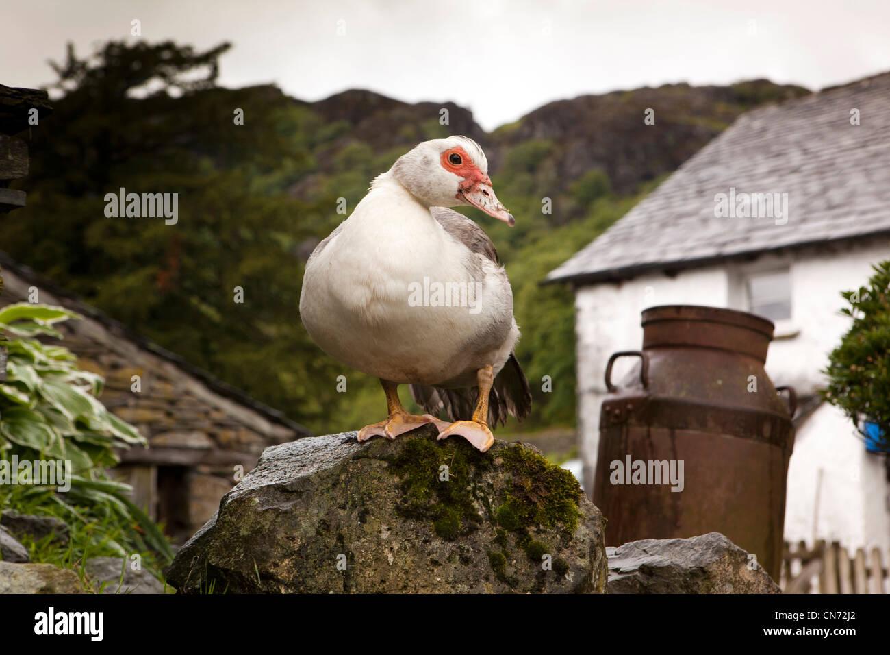 UK, Cumbria, Coniston, Yew Tree Farm, free range duck on wall in farmyard - Stock Image