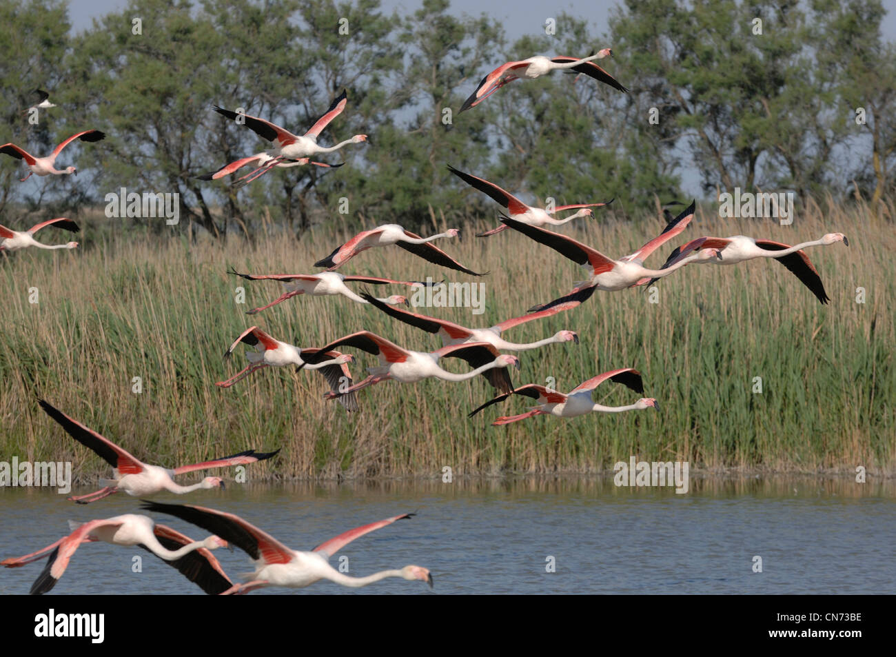 Greater Flamingo Phoenicopterus ruber In flight Photographed in the Camargue, France - Stock Image
