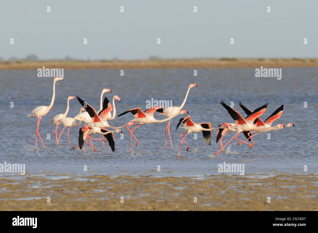 Greater Flamingo Phoenicopterus ruber Taking flight Photographed in the Camargue, France - Stock Image