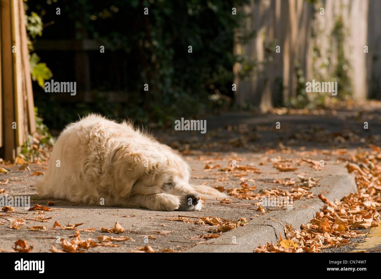 A golden retriever lying across the pavement, fast asleep. - Stock Image