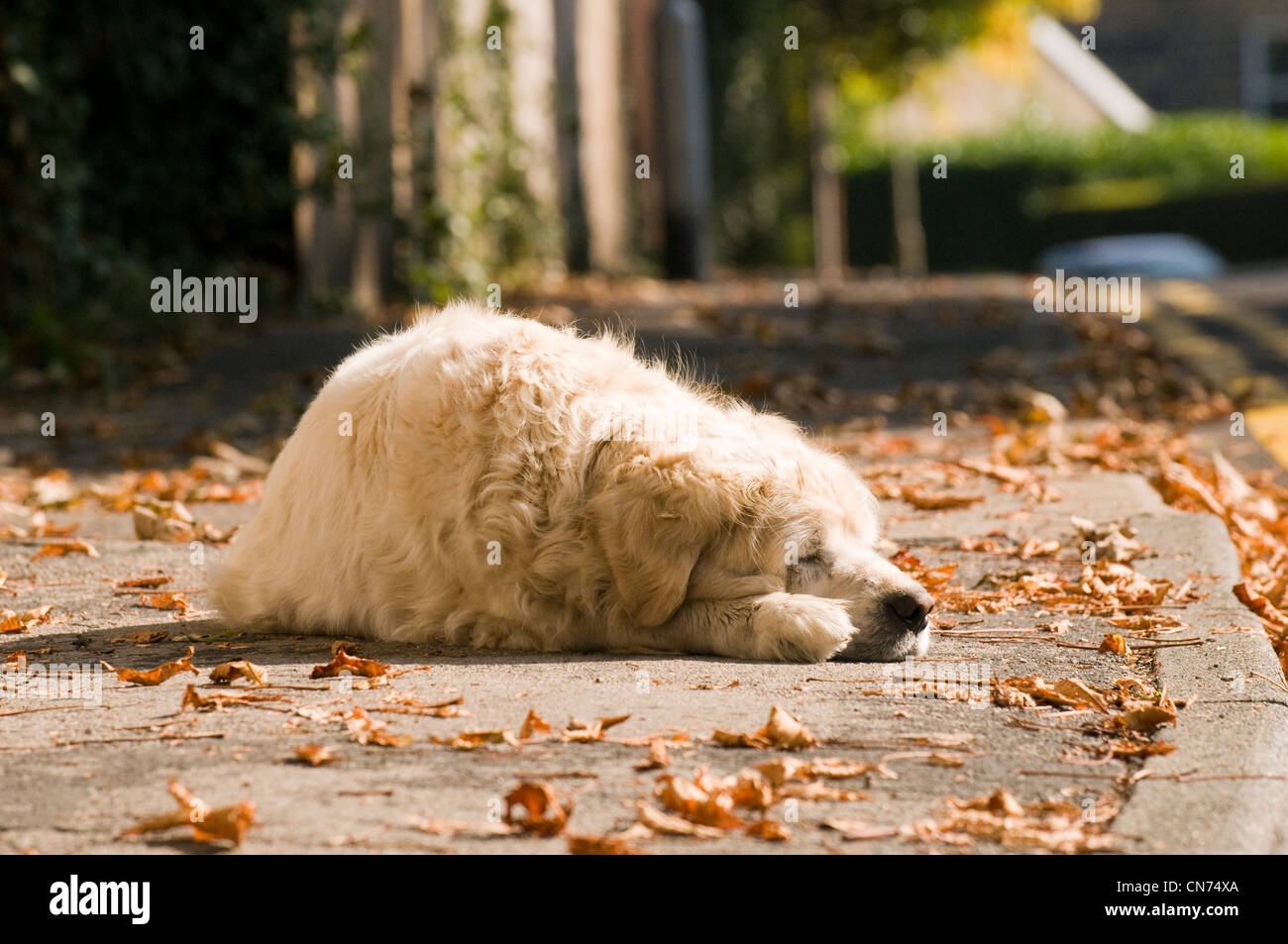 Sleepy tired relaxed adult golden retriever (cute fluffy pet dog) lying on pavement, fast asleep, snoozing in autumn Stock Photo