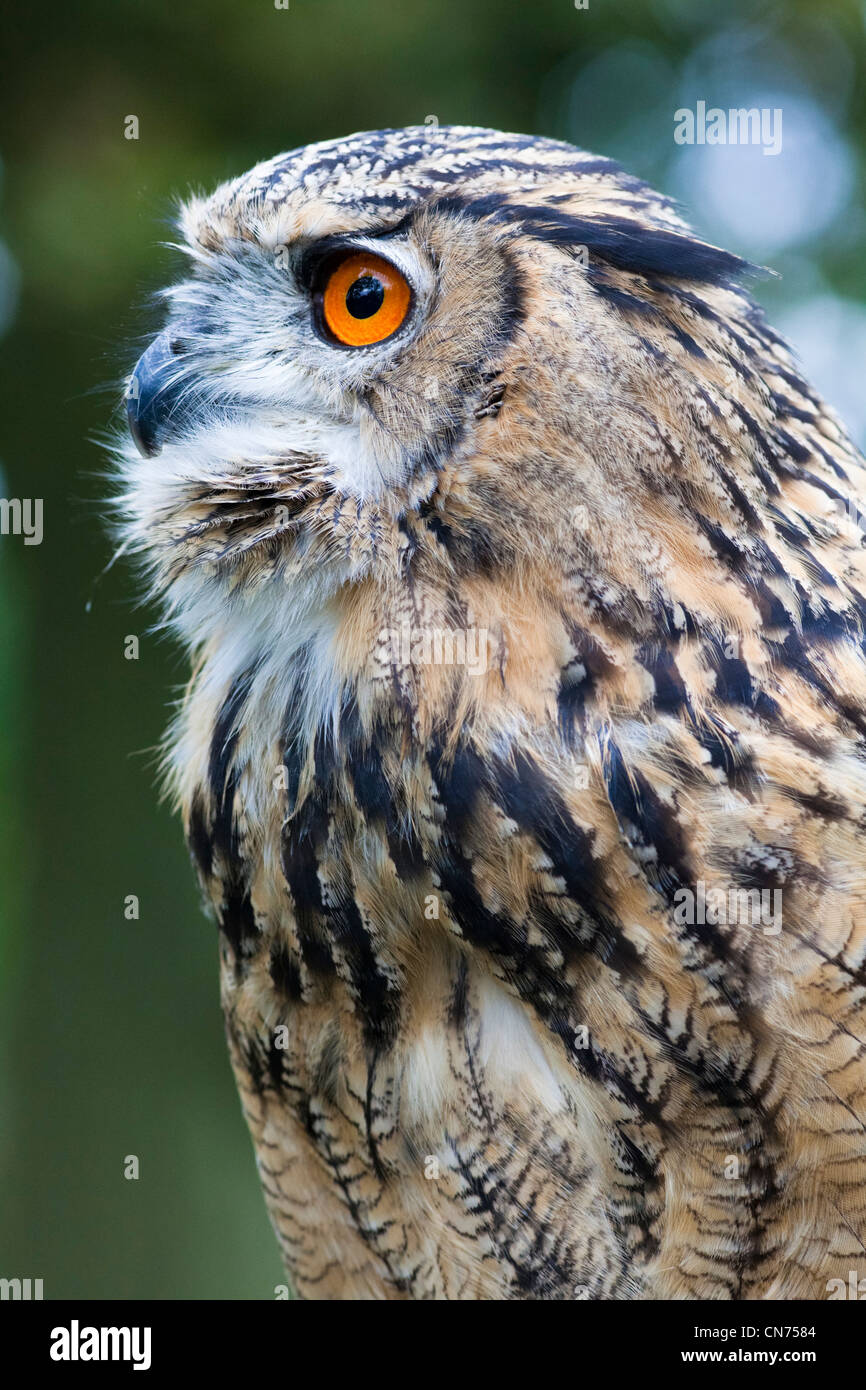 Eurasian Eagle Owl - Bubo bubo - Stock Image