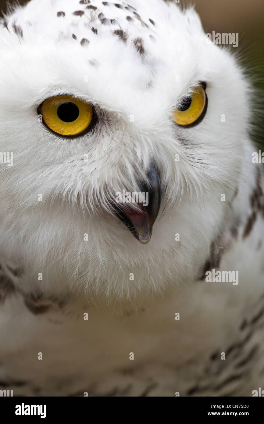 Snowy Owl - Bubo scandiacus - calling - Stock Image