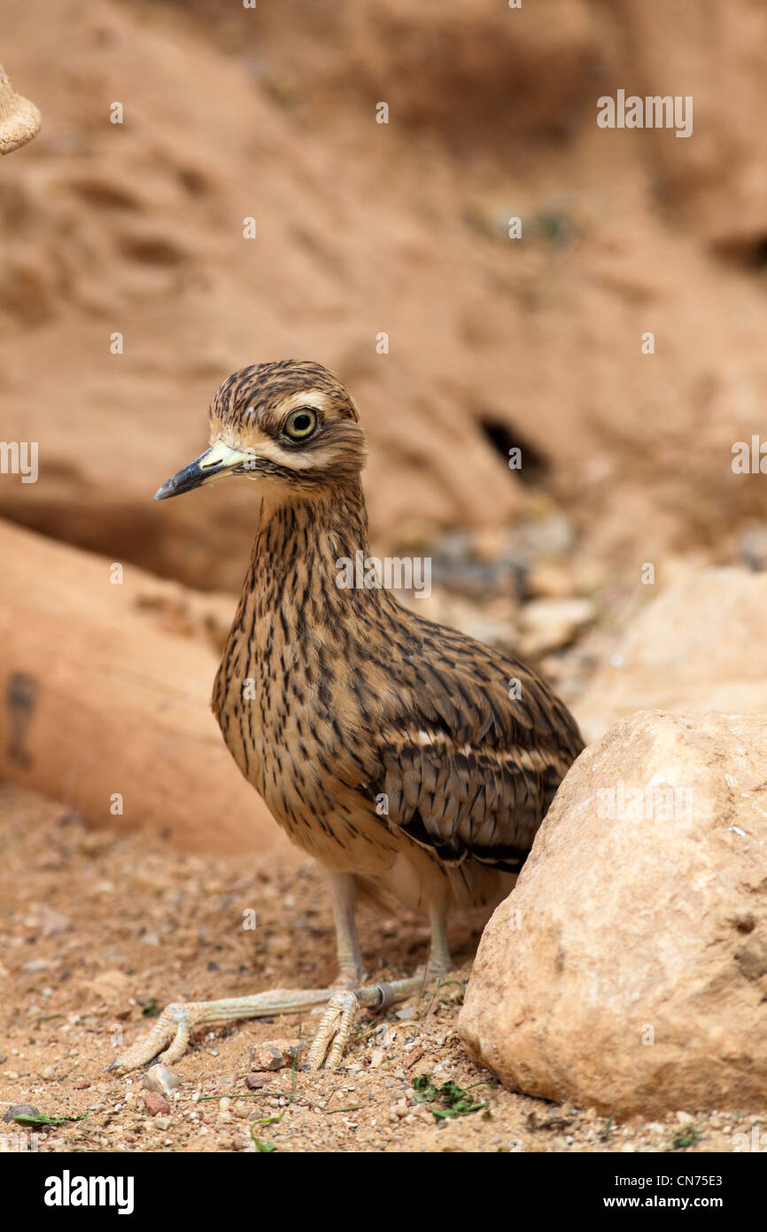 Greater Roadrunner - Geococcyx californianus - alert beside rock, controlled conditions - Stock Image