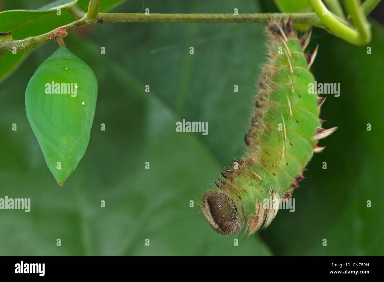 A pupa and pupating larva of the Blue Morpho butterfly Stock Photo