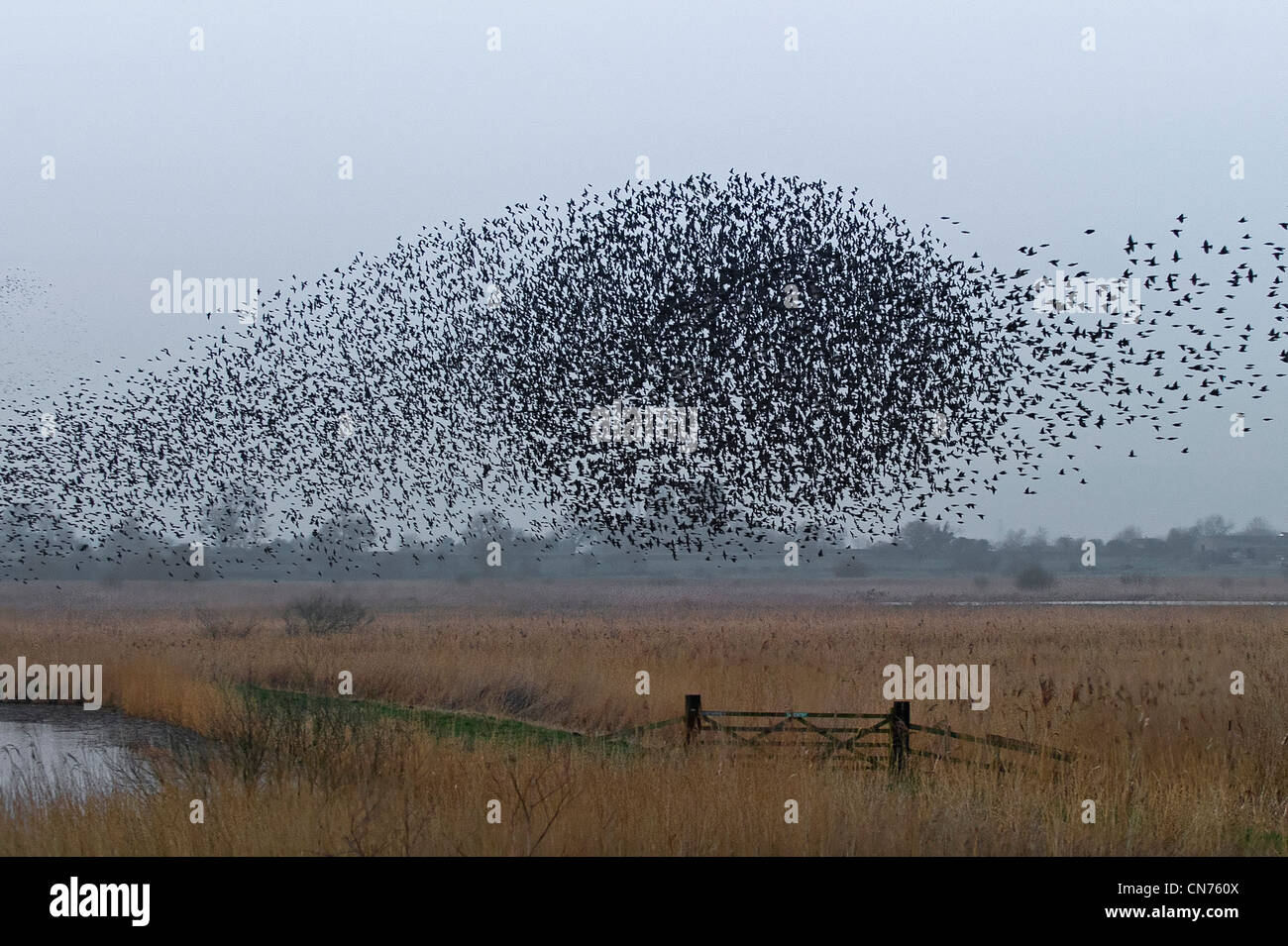 A flock of European Starlings - Stock Image