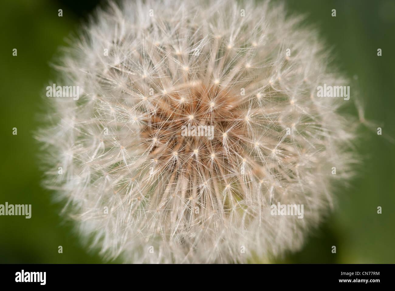 Macro, micro, close up photo, photograph of Dandelion seed head Stock Photo