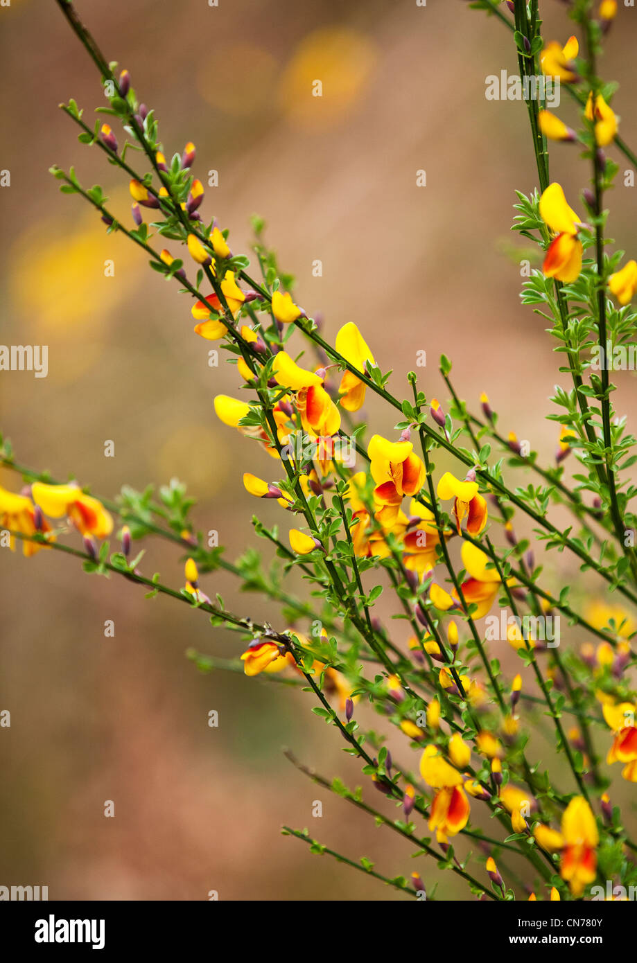 Broom in woodland Shropshire England - Stock Image