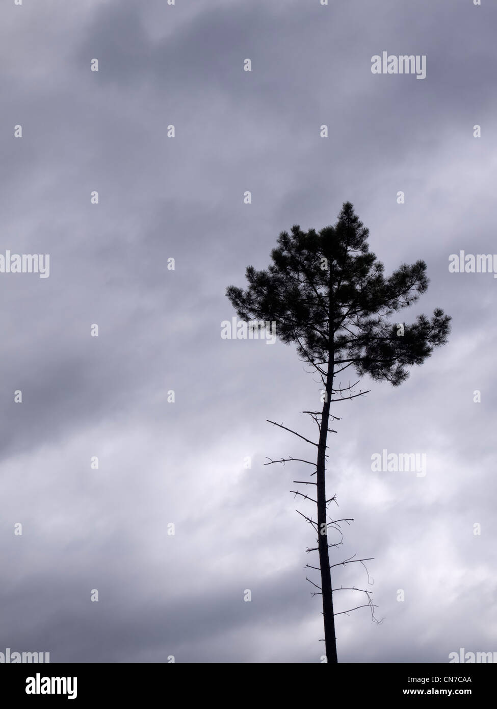 Pine tree and menacing cloudy sky - Stock Image