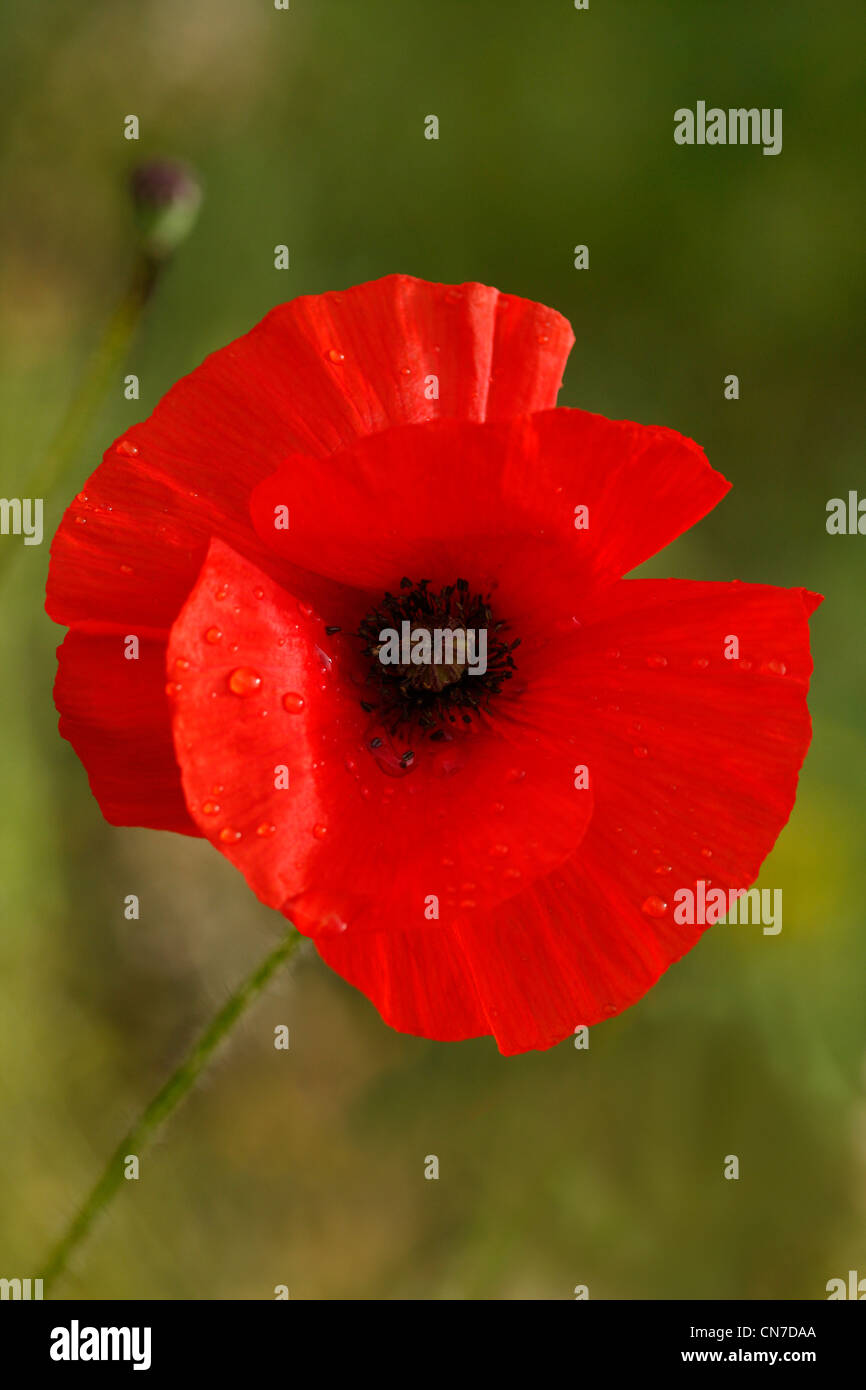 A single poppy in the early morning light - Stock Image