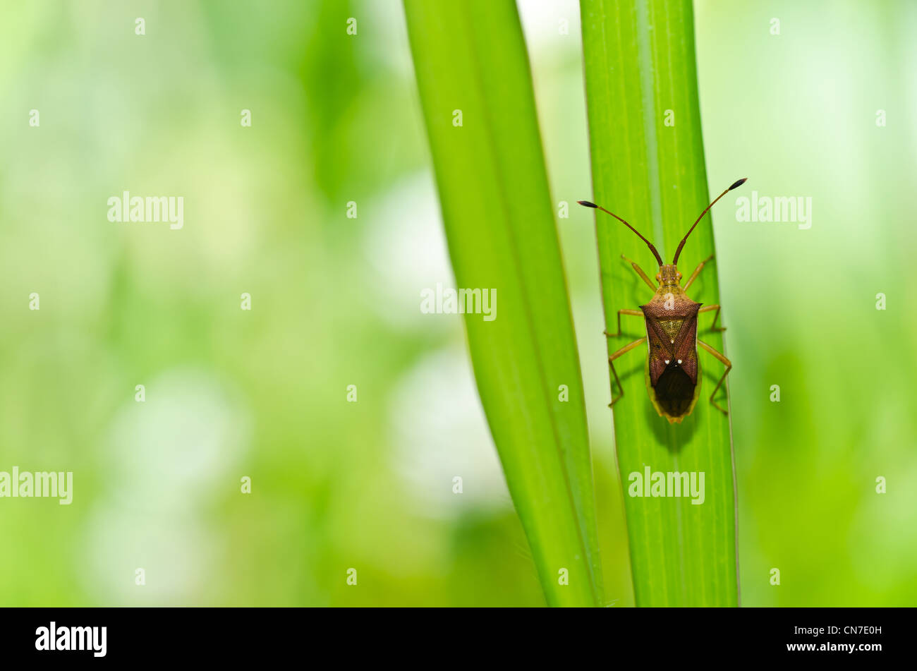 hemiptera in green nature or in the garden - Stock Image