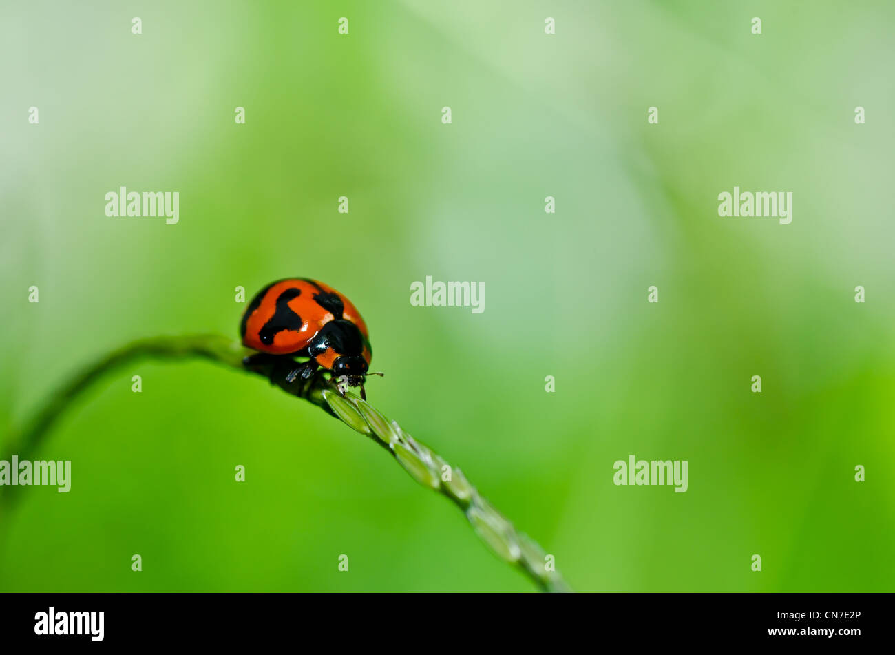 ladybug in the green nature or in the garden Stock Photo