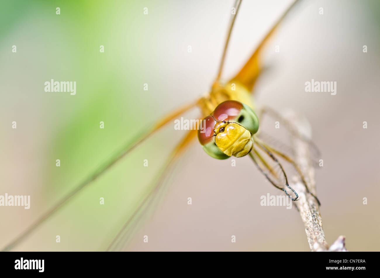 dragonfly in garden or in green nature Stock Photo