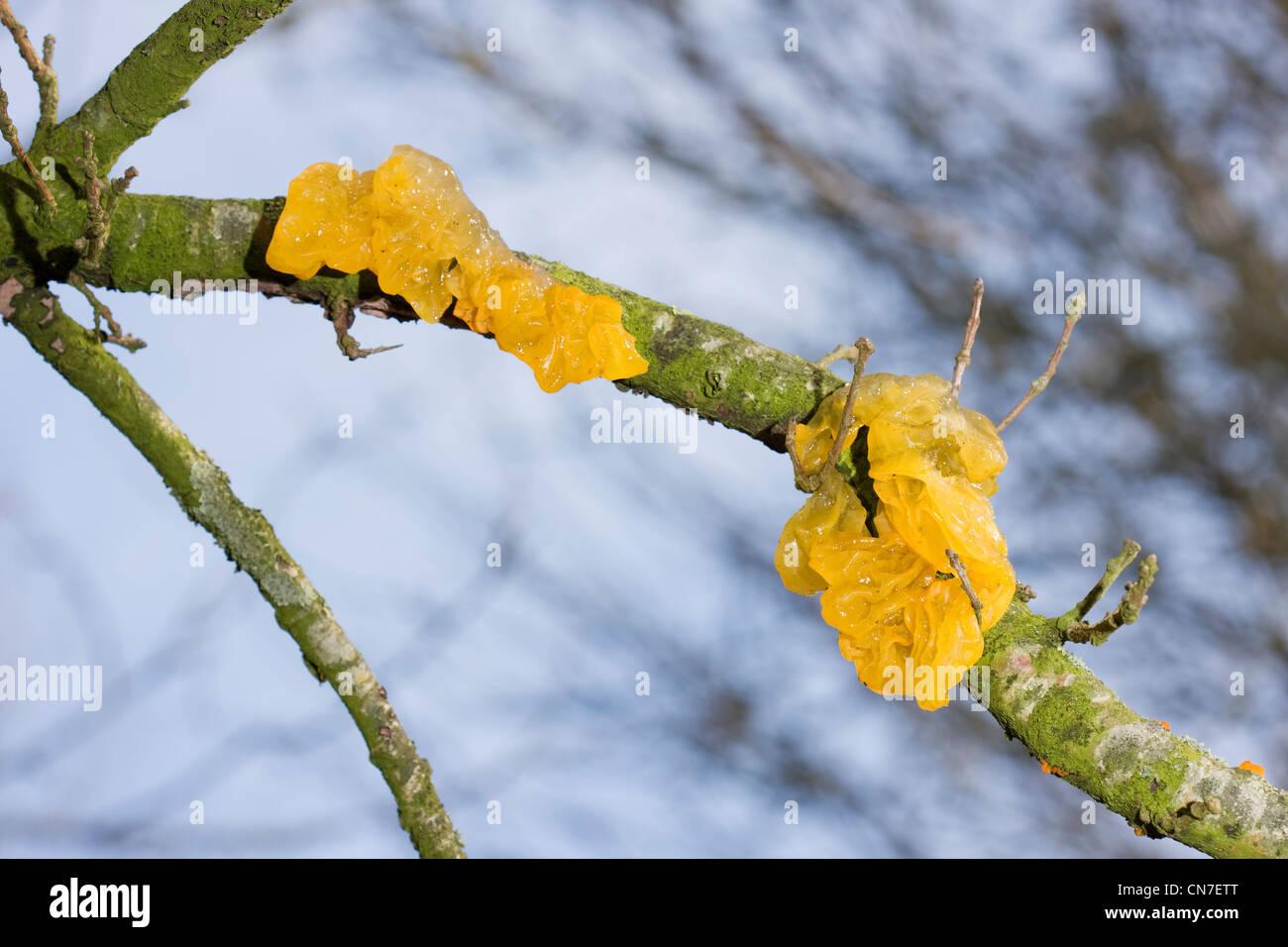 Yellow Brain Fungus or Golden Jelly Fungus (Tremella Mesenterica) on Oak. - Stock Image