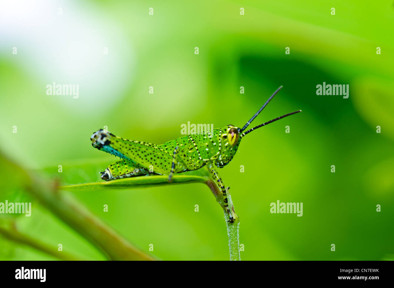 grasshopper in green nature or in the garden - Stock Image