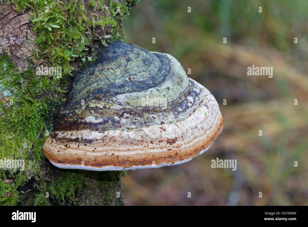 Beeswax Bracket (Ganoderma Pfeifferi) growing on an dead tree. - Stock Image