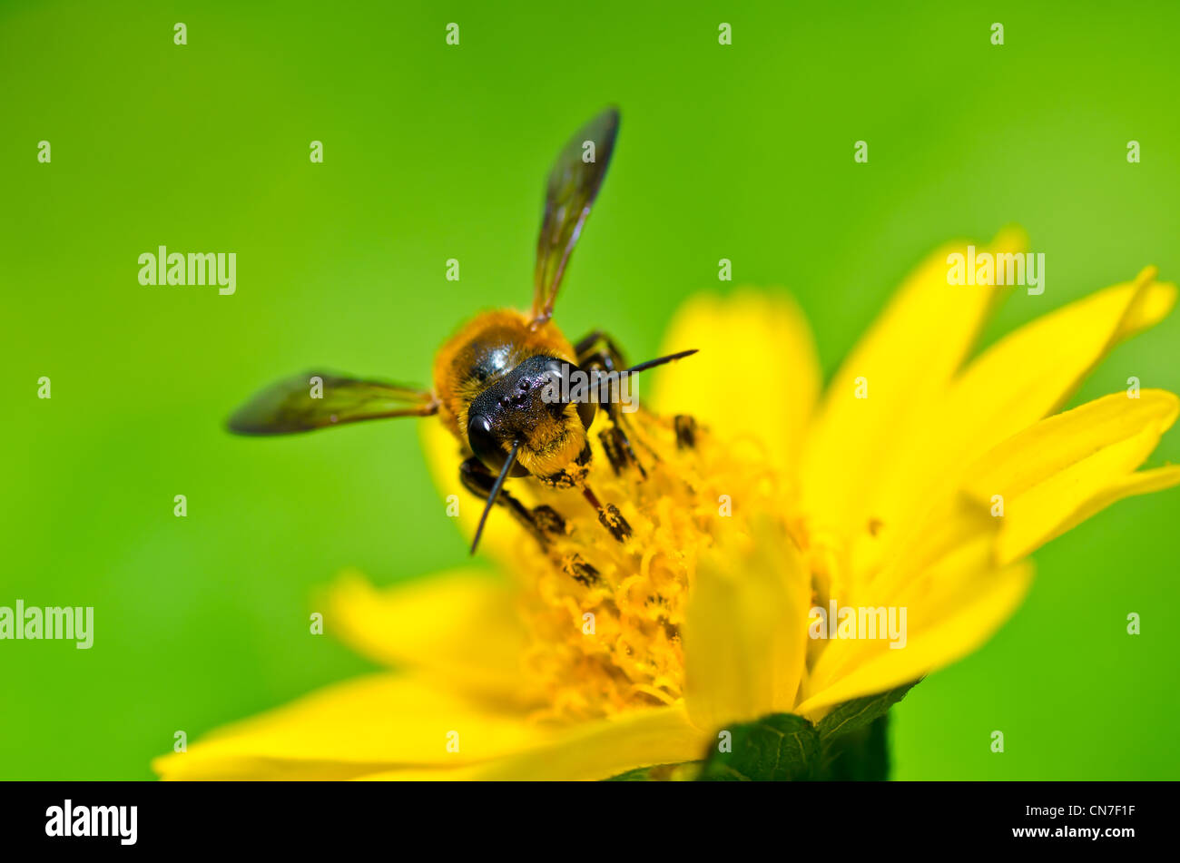 bee in green nature or in the garden - Stock Image