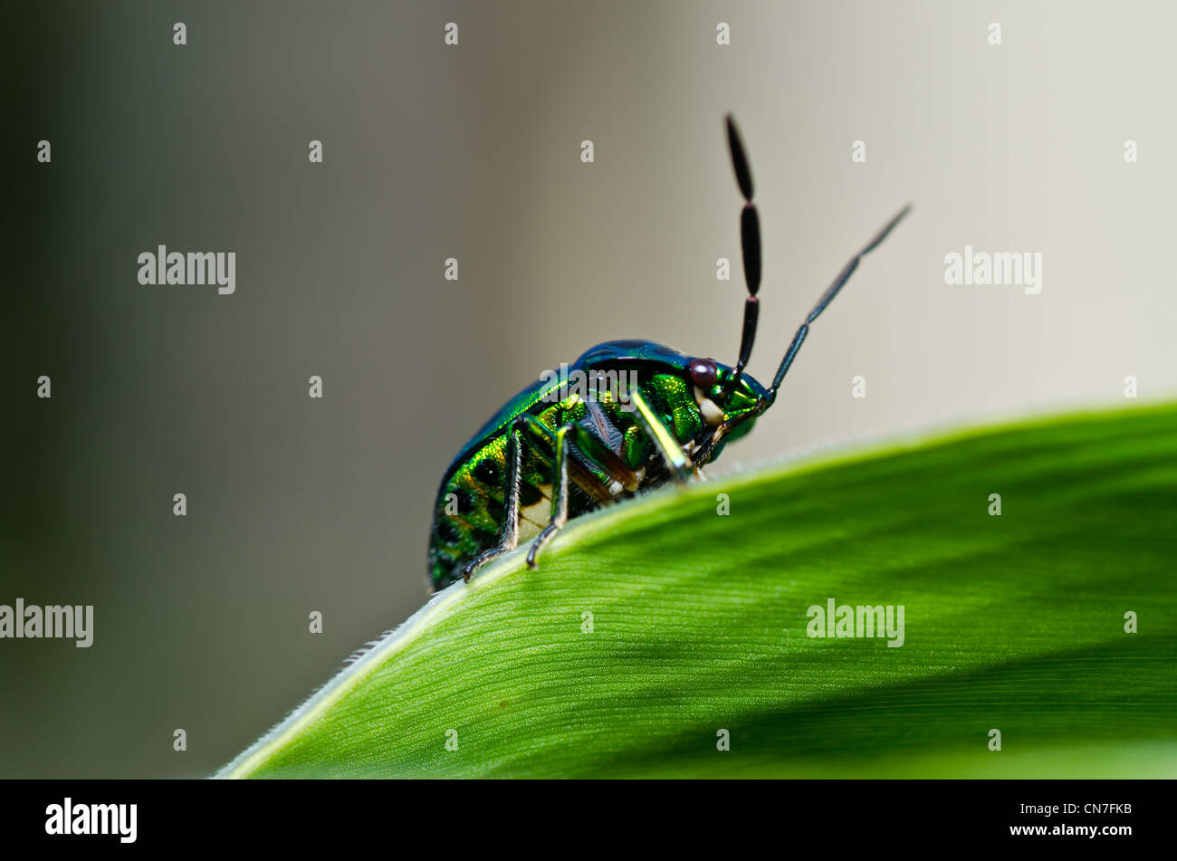 jewel beetle in green nature or in the forest - Stock Image