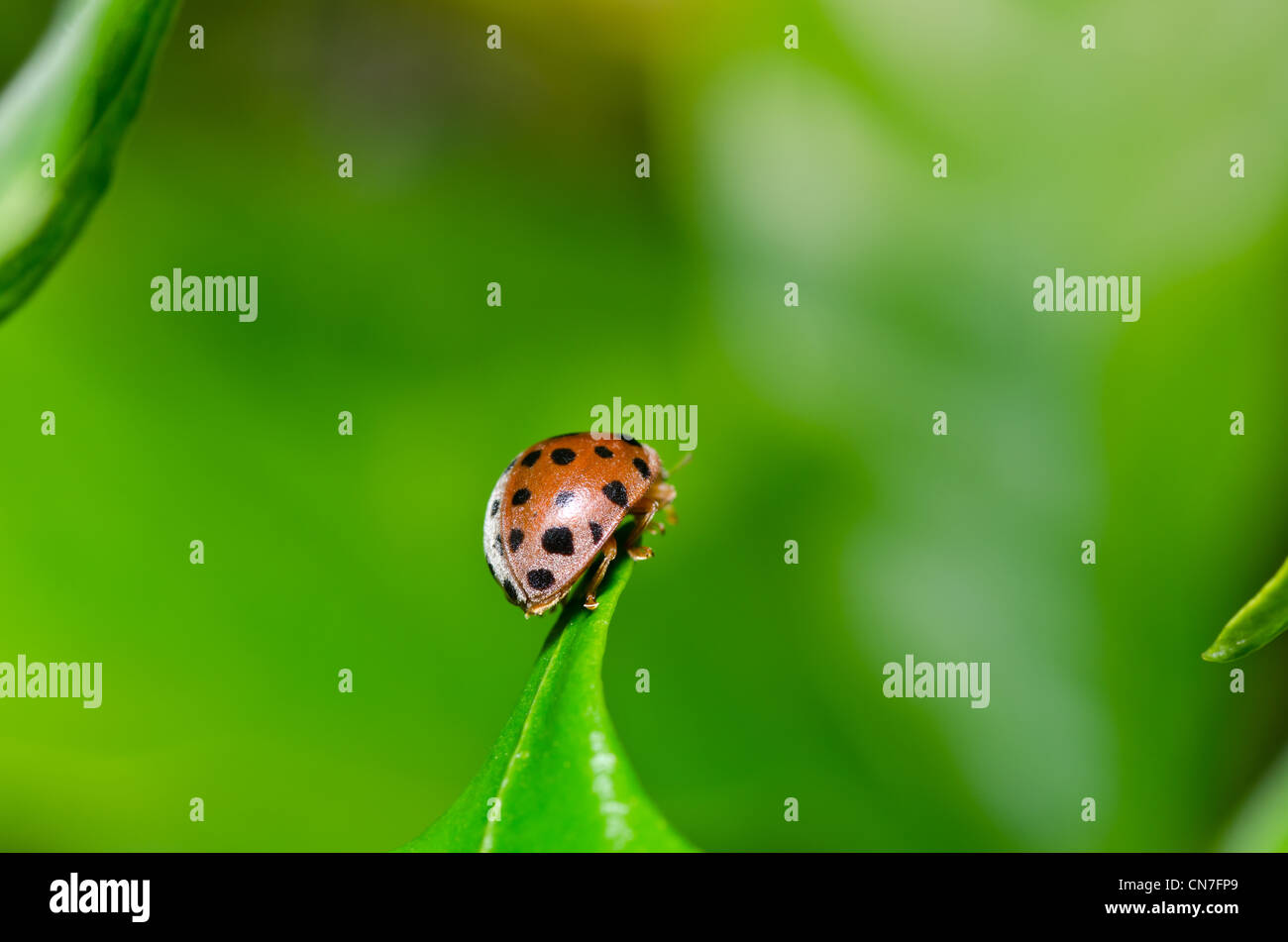 ladybug in the garden or in the green nature Stock Photo