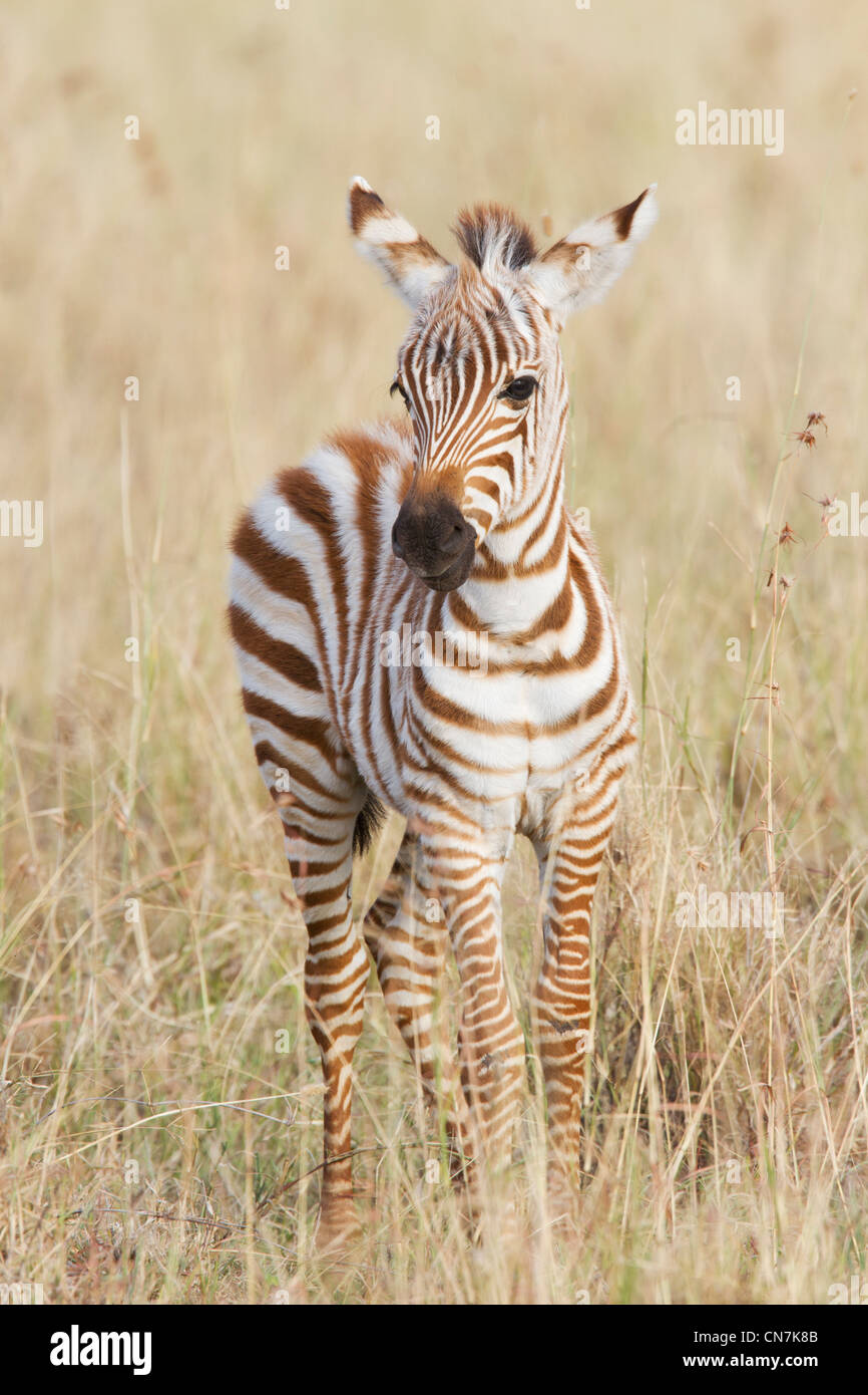 Zebra foal - Stock Image