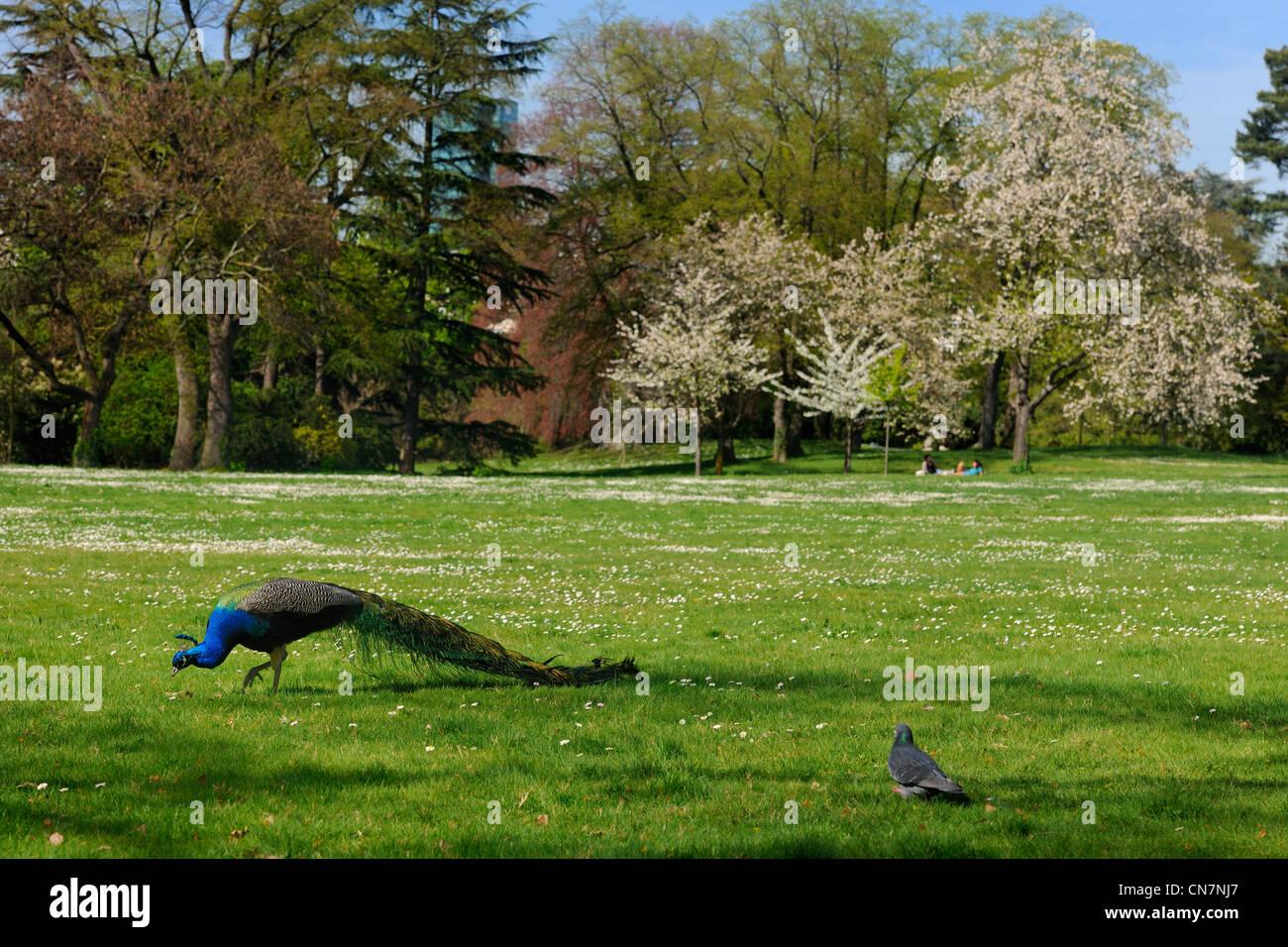 France, Paris, Bois de Boulogne, Parc de Bagatelle, peacock Stock Photo