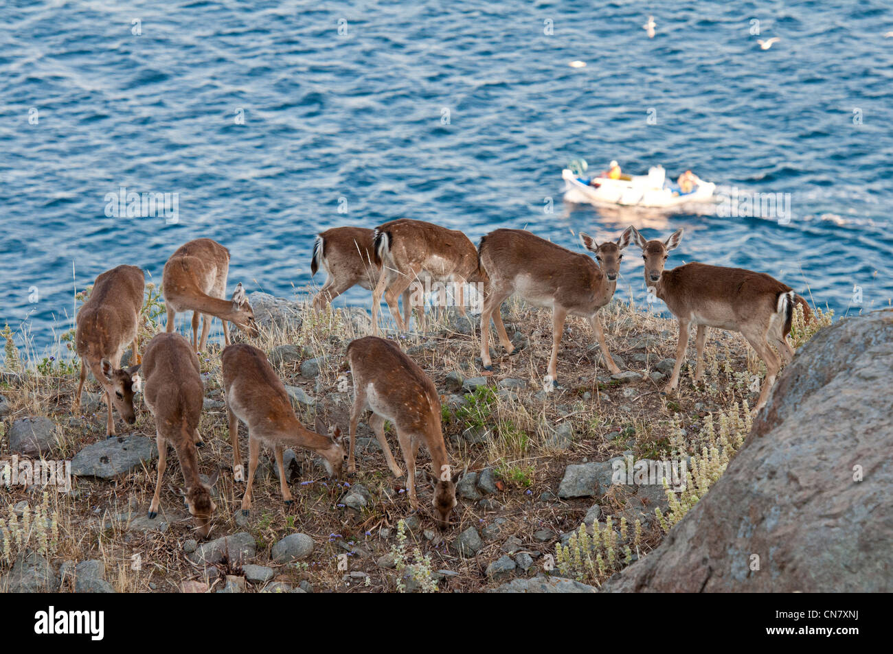 Greece, Lemnos Island, Myrina, capital town and main harbour of the island, deer wander in the ruins of 12th century - Stock Image
