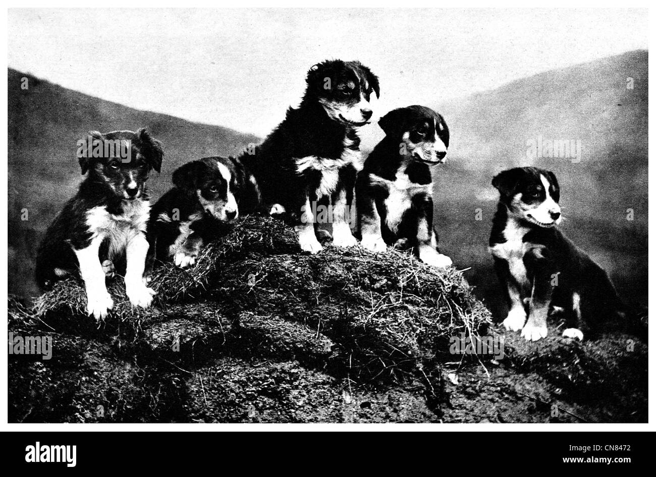 Scottish Collie dog puppies First published 1917 - Stock Image